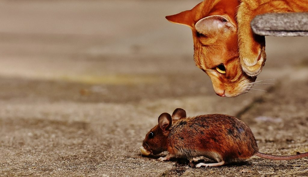 mouse rodent